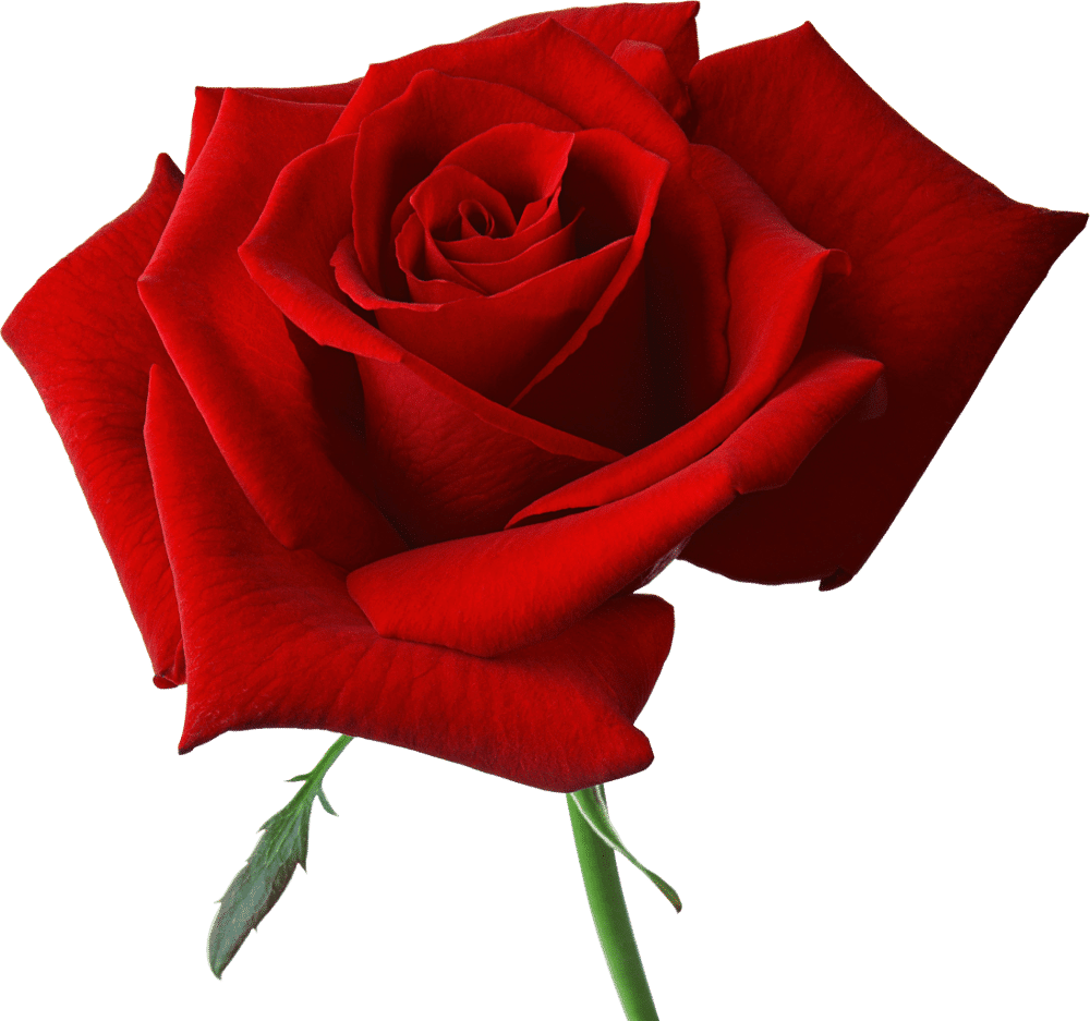 Rose for you