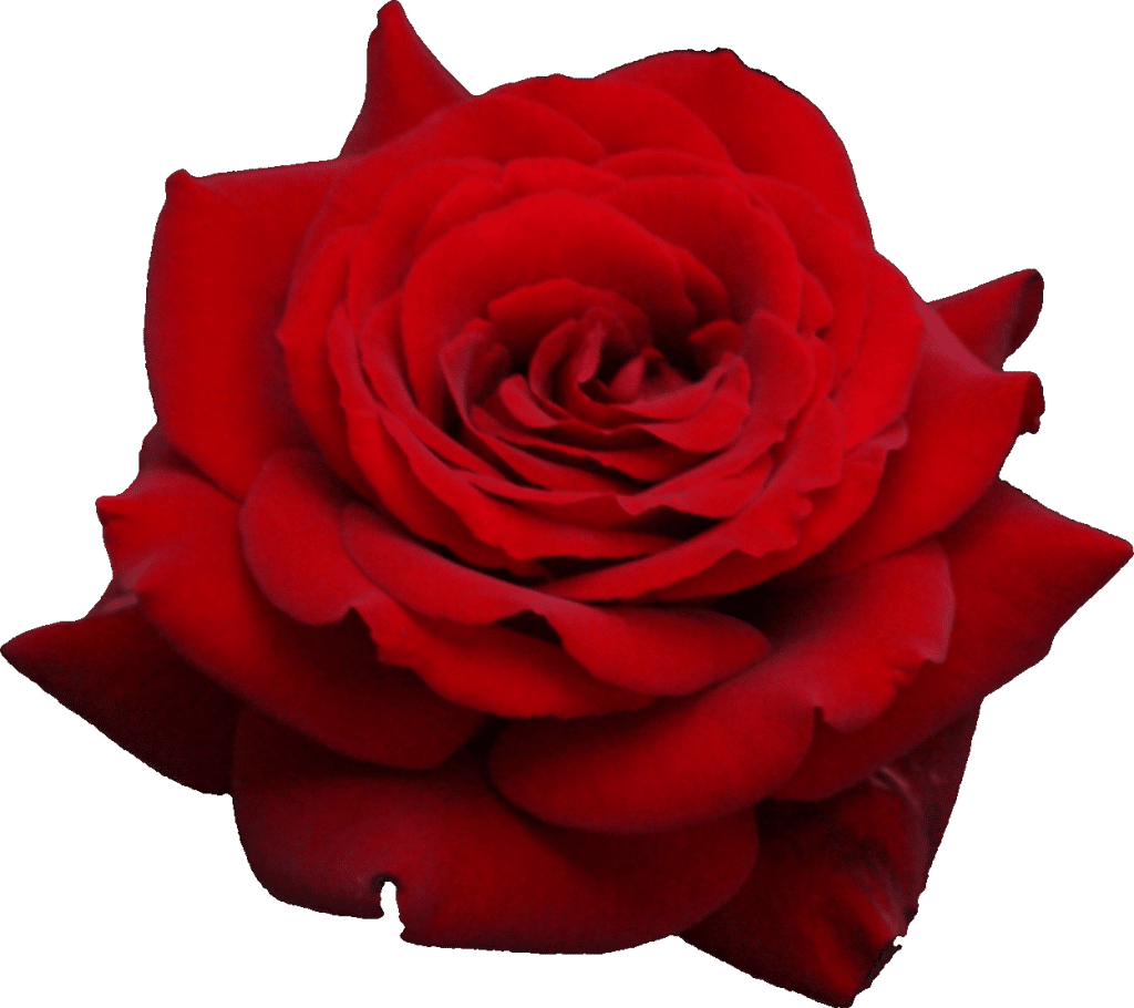 Roses with white wallpaper png