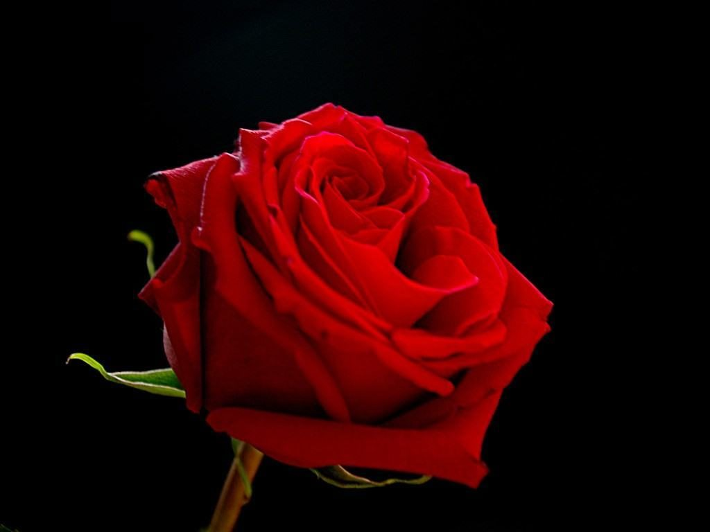 Red rose on a black background